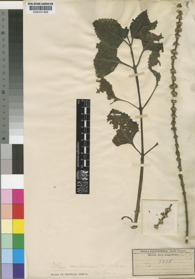 Plectranthus amboinicus (Lour.) Spreng.