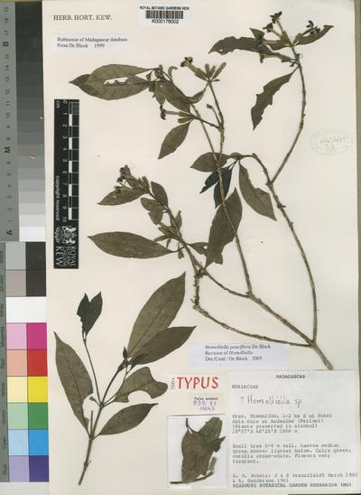 Homolliella pauciflora De Block