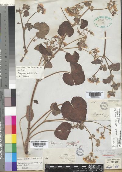 Pelargonium australe Willd.