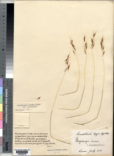 Chrysopogon plumulosus Hochst.