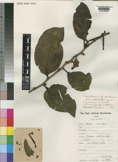 Agelanthus sansibarensis (Engl.) Polhill & Wiens subsp. montanus Polhill & Wiens