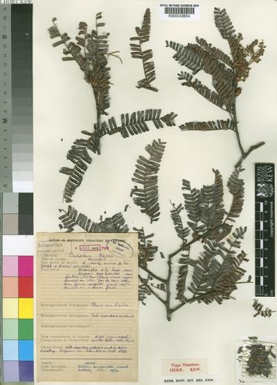 Didelotia brevipaniculata J.Léonard