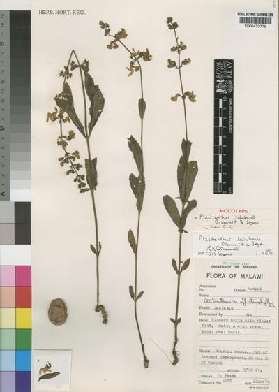 Plectranthus salubenii Brummitt & Seyani
