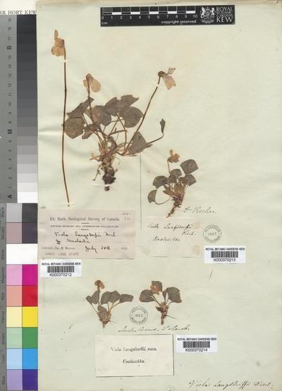 Viola langsdorffii Fisch. ex Ging.
