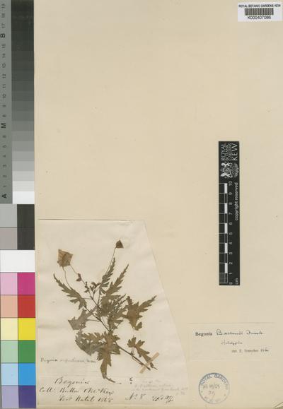 Begonia buttonii Irmsch.
