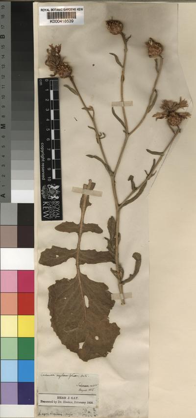 Centaurea diluta