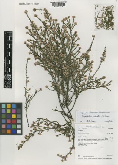 Cryptandra ciliata A.R.Bean