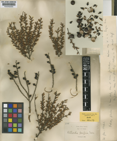 Pritchardia pacifica Seem. & H.Wendl.