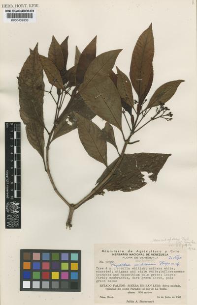 Psychotria sanluisensis Steyerm.