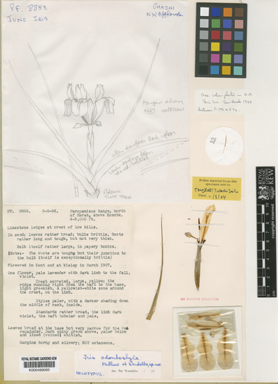 Iris odontostyla B.Mathew & Wendelbo