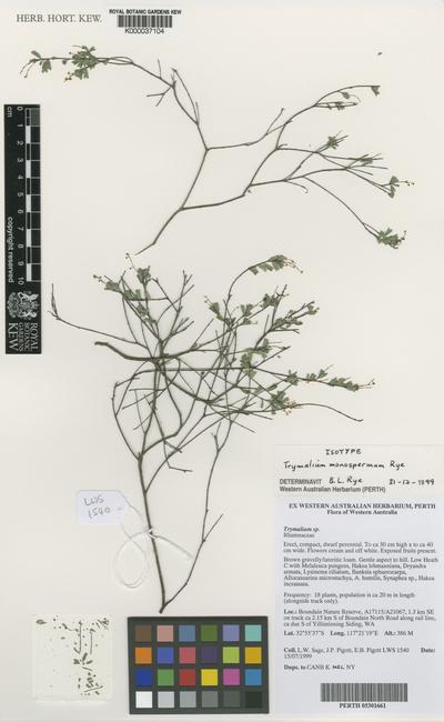 Trymalium monospermum Rye