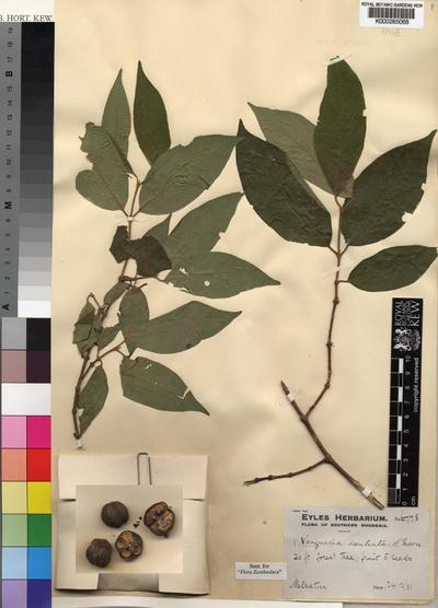 Vangueria esculenta S.Moore