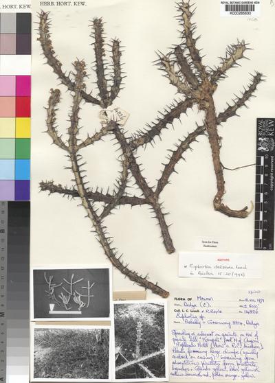 Euphorbia dedzana L.C.Leach