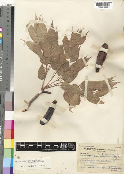 Entandrophragma caudatum (Sprague) Sprague