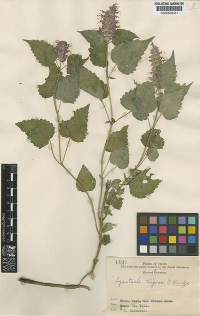 Agastache rugosa (Fisch. & C.A.Mey.) Kuntze