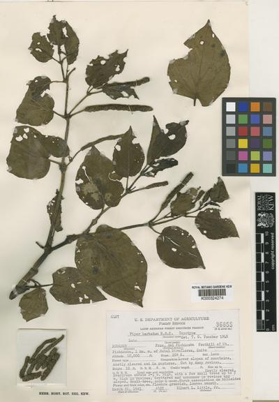Piper barbatum Kunth