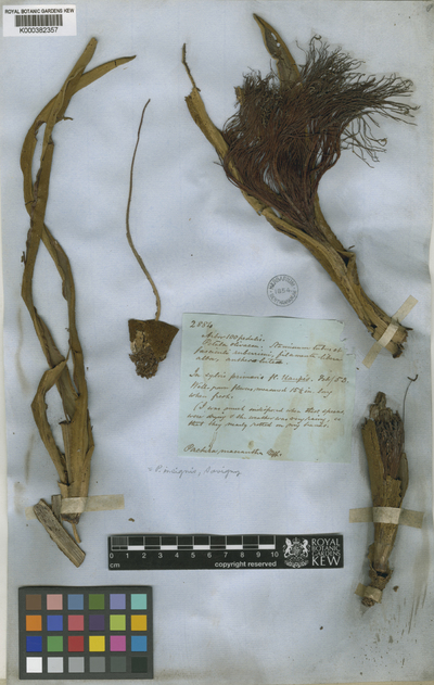 Pachira insignis (Sw.) Sw. ex Savigny