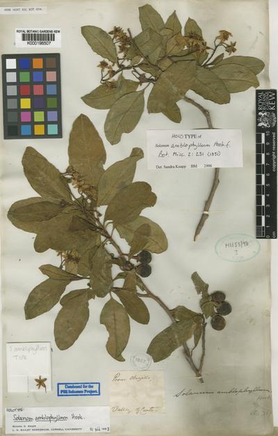 Solanum amblophyllum Hook.