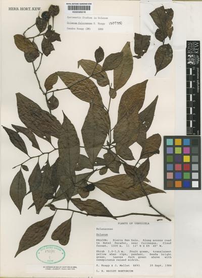 Solanum falconense S.Knapp
