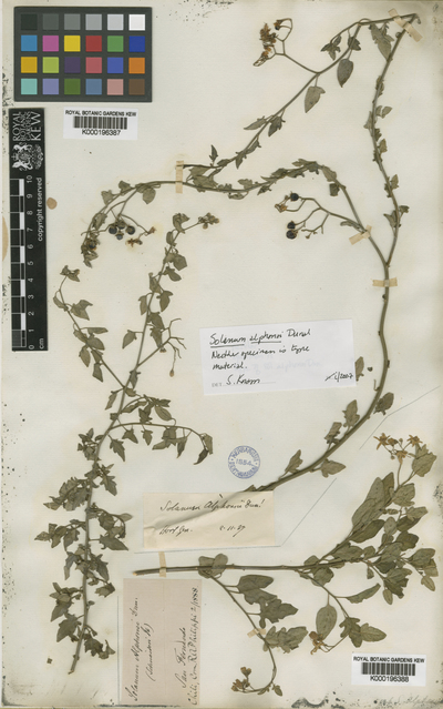 Solanum alphonsei Dunal