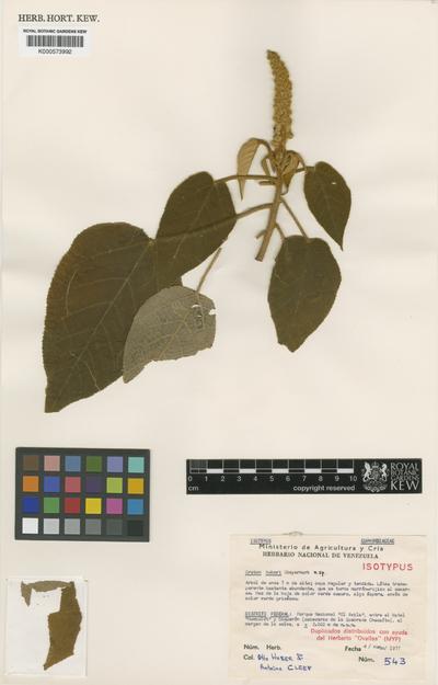 Croton huberi Steyerm.
