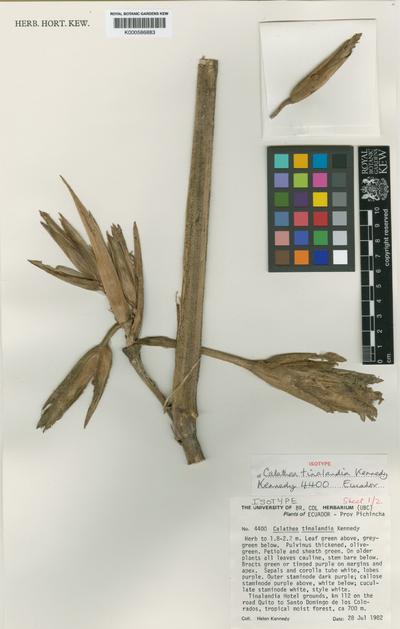 Calathea tinalandia H.A.Kenn.
