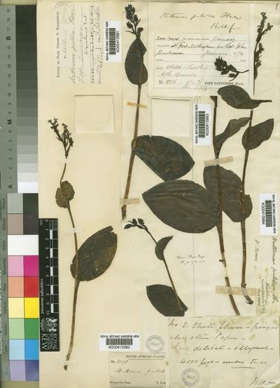 Huttonaea pulchra Harv.