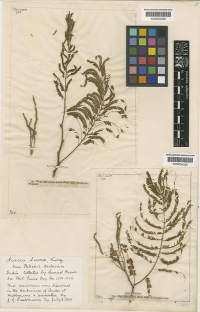 Acacia polyacantha Willd.