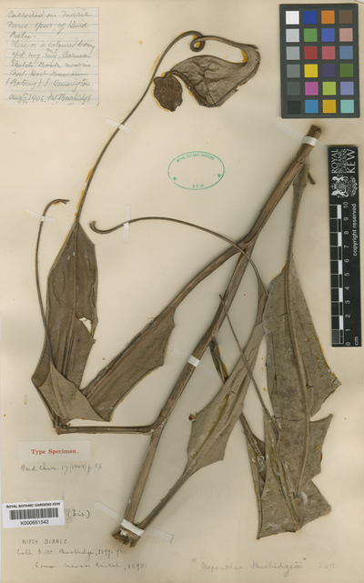 Nepenthes burbidgeae Hook.f. ex Burbidge
