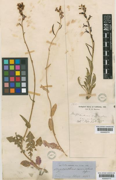 Streptanthus carinatus C. Wright ex A. Gray
