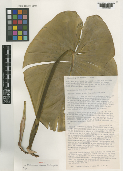 Philodendron cipoense Sakuragui & Mayo