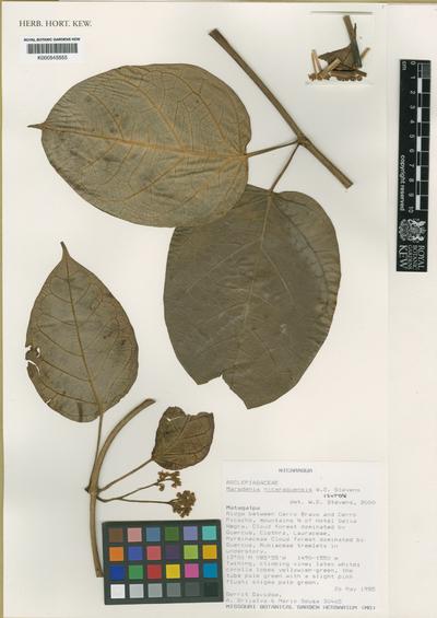 Marsdenia nicaraguensis W.D.Stevens