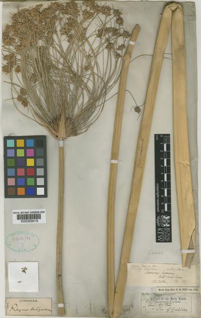 Cyperus papyrus L. subsp. antiquorum (Willd.) Kük.