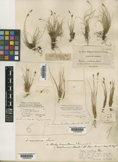 Carex nardina (Hornem.) Fr.