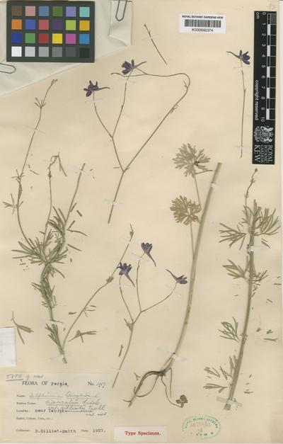 Consolida regalis Gray subsp. divaricata (ledeb.) Munz.