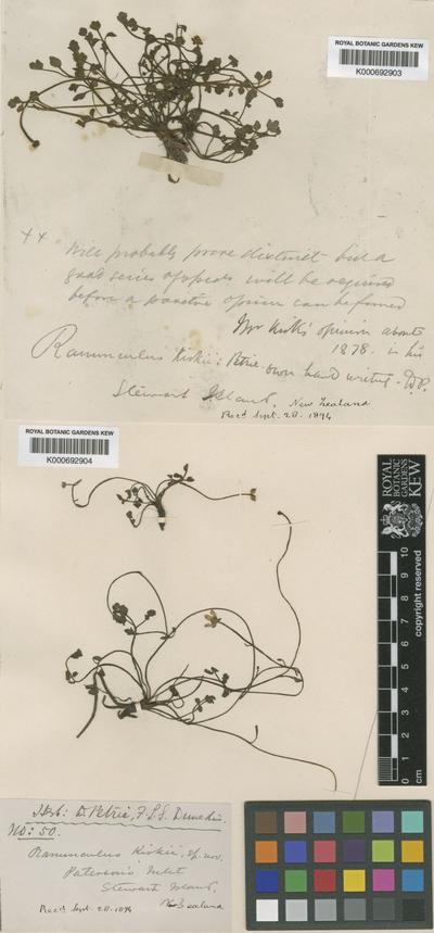 Ranunculus kirkii Petrie