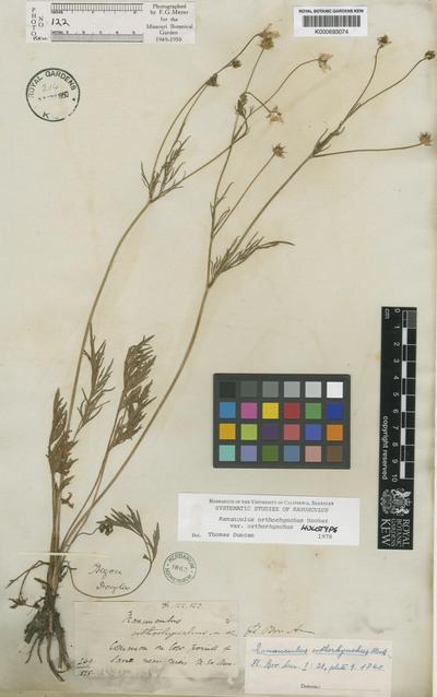 Ranunculus orthorhynchus Hook.