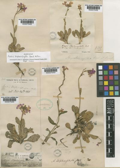 Arabis blepharophylla Hook. & Arn.