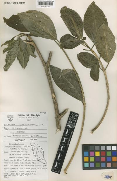 Melicope suberosa B.C.Stone