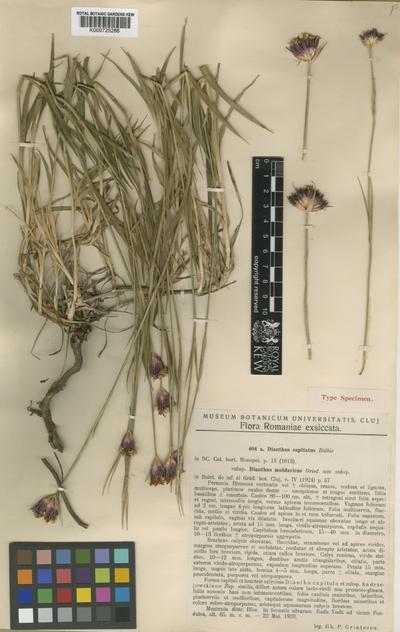 Dianthus capitatus Balbis subsp. moldavicus Grint