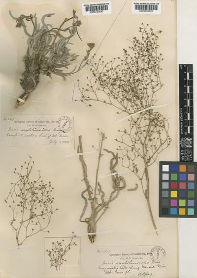 Stellariopsis santolinoides (A.Gray) Rydb.
