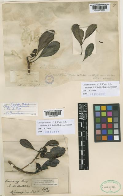 Ceriops tagal (Perr.) C.B. Robinson