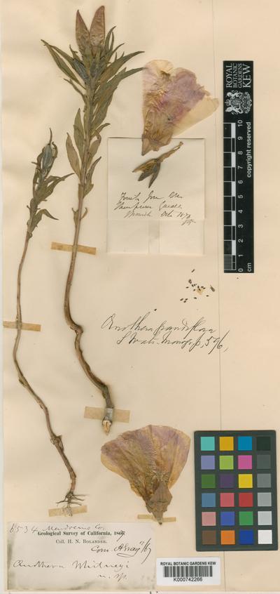Clarkia amoena (Lehm.) A.Nelson & J.F.Macbr. subsp. whitneyi (A.Gray) F.H.Lewis & M.E.Lewis