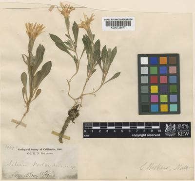 Silene hookeri Nutt. subsp. bolanderi (A.Gray) Abrams