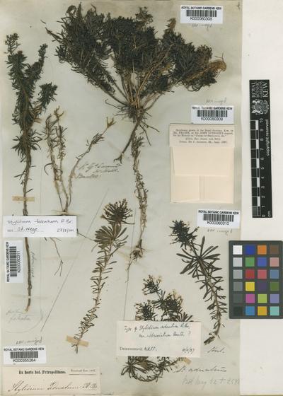 Stylidium adnatum  var. abbreviatum Benth.