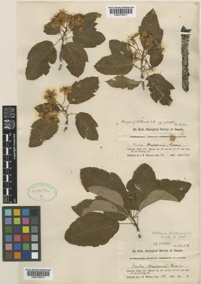 Malus macounii Greene