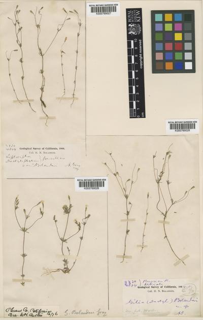 Linanthus bolanderi (A.Gray) Greene