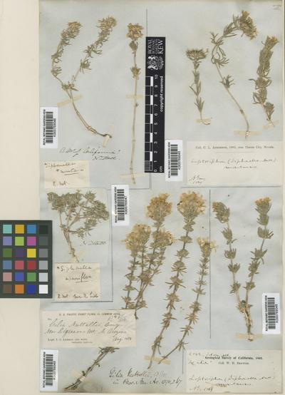 Linanthus nuttallii (A.Gray) Greene ex Milliken