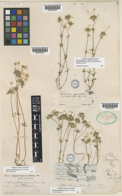 Linanthus parviflorus (Benth.) Greene