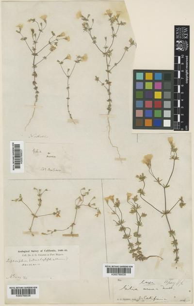 Linanthus aureus (Nutt.) Greene